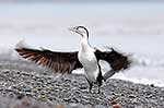 NZ Pied shag drying wings