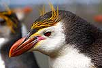 Royal Penguin close up