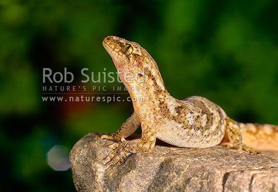 Raukawa or Common Gecko (Woodworthia maculata, Syn. Hoplodactylus maculatus) sitting on rock, New Zealand (NZ) stock photo.
