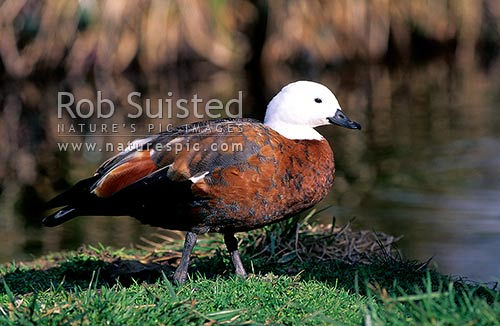 Paradise duck; female. (Tadornis variegata), Waikanae, New Zealand (NZ) stock photo.