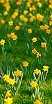 Spring blooms, mass daffodils