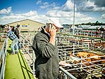 Cattle sale auctions, Feilding