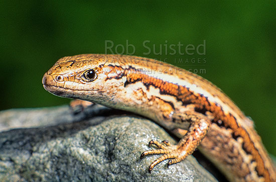 Northern grass skink, or Common Skink (Oligosoma nigriplantare polychroma). NZ Native, Wellington, Wellington City District, Wellington Region, New Zealand (NZ) stock photo.