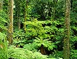 Tree fern underforest