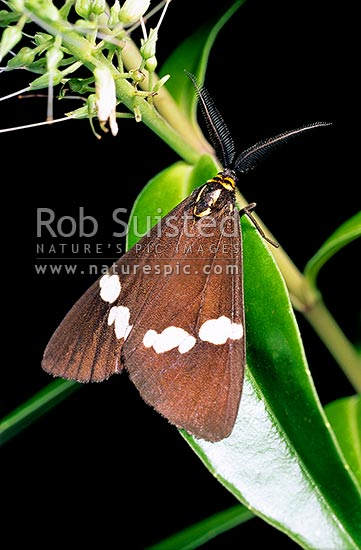 Magpie moth (Nyctemera annulata) on Hebe (Koromiko), New Zealand (NZ) stock photo.