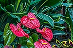 Flamingo flowers (Anthurium sp.)