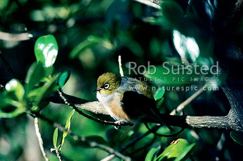 Silver-eye (Zosterops lateralis) sitting in Coprosma (C. repens) tree. Wax eye, New Zealand (NZ) stock photo.