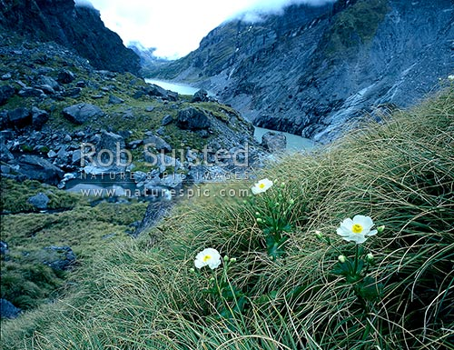 Giant buttercups (Ranunculus lyalli) above Lake Douglas, Douglas River, Westland District, West Coast Region, New Zealand (NZ) stock photo.