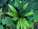 Crown fern fronds