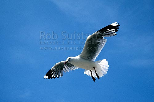 Red billed gull (Larus novaehollandiae scopulinus) hovering in wind, Castlepoint, New Zealand (NZ) stock photo.