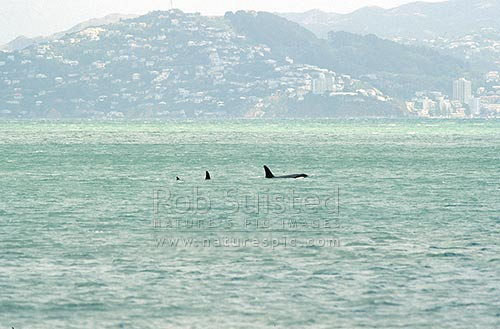 Killer Whales (Orca orcinus) in Wellington Harbour, Wellington, Wellington City District, Wellington Region, New Zealand (NZ) stock photo.