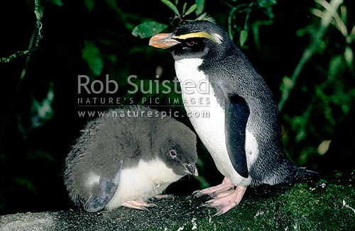 Fiordland crested penguin (Eudyptes pachyrhynchus) - Adult and chick, late October, South Westland, New Zealand (NZ) stock photo.