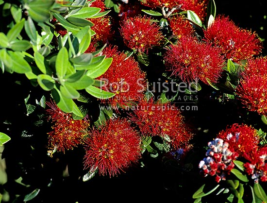 Pohutukawa flowers (Metrosideros excelsa), New Zealand (NZ) stock photo.